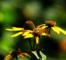 Prairie Coneflower by Larry Trupp