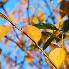 Leaves of Gold by Lynn McCann