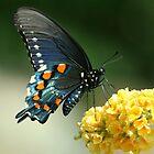 Butterfly, Pipevine Swallowtail, Battus philenor by tonybat