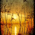 Reeds bathing in evening sun light by Manfred Belau