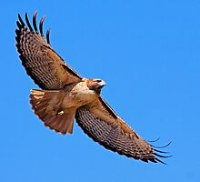1101091 Red Tailed Hawk by Marvin Collins