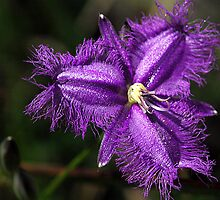 Purple Fringe Lily - Mt Cannibal, Gippsland, Victoria by Bev Pascoe