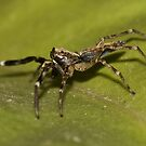 Lynx Spider by Jason Asher