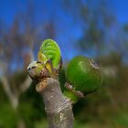 Fig Bud, early spingtime by Jenny Marshall