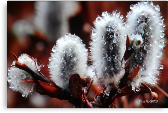 Pussy Willow Flowers by Pam Moore