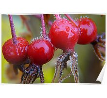 Winter Apples,(Frosted Rose-hips) Poster