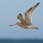 bar-tailed godwit by aa2bo