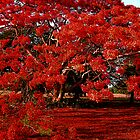 Poinciana in bloom by Lynette Higgs