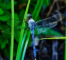 Male Eastern/Common Pondhawk  by Gouzelka