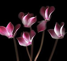 Cyclamen by Brian Haslam