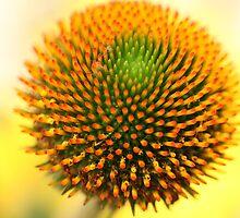 Flower: Echinacea II by adpixels