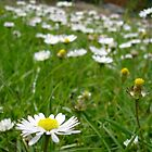 Daisies in garden by maxrandall