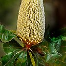 Old Man Banksia by Dianne English