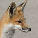 The Profile of a Red Fox by DigitallyStill