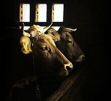 Portrait of cows in the barn. by demigod