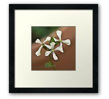 Rocket flower - Erica Sativa Framed Print