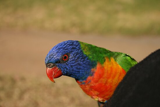 An Eye For Colour-Australian Parrot by graeme edwards