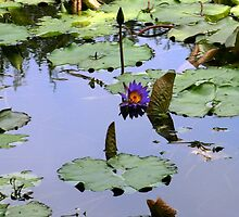Water lily by Tony Weatherman