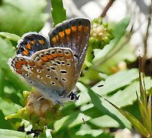 Common Blue female by Nigel Kendall