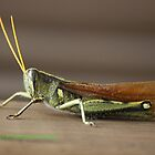 A Grasshopper by zpawpaw