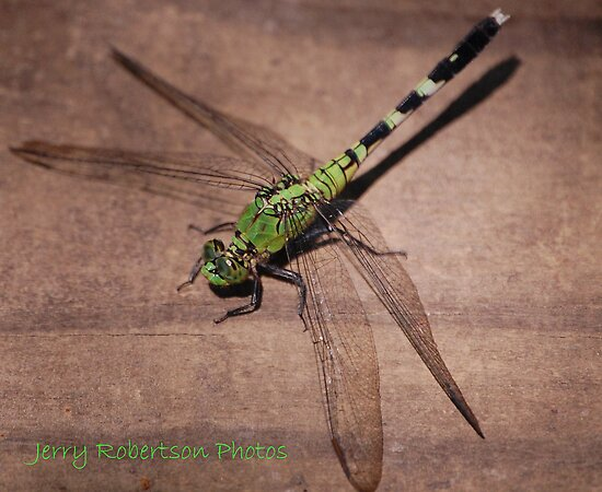 The Dragonfly by zpawpaw
