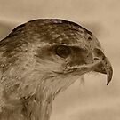 Hawk by Trevor Kersley