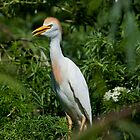 Cattle Egret by Delores Knowles