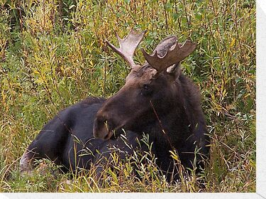 Young Bull Moose by Ronda Sliter