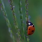 Ladybug On Grass Stalk by Ronda Sliter