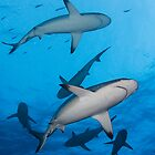 Sharks of North Horn - Osprey Reef by allyazza