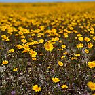 Coreopsis - Carrizo Plain by Rebecca Sowards-Emmerd