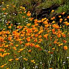 California Poppies, Merced Canyon by Rebecca Sowards-Emmerd