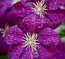 Dreaming of Clematis In The Rain by Tony  Bazidlo