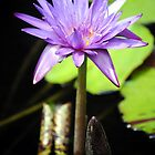 The Violet Lotus by Paul Cush