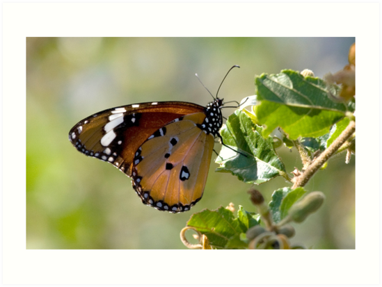 African Monarch Butterfly by Michael  Moss