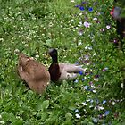Ducks Amongst the Flowers - St Werburghs City Farm by David Sandilands