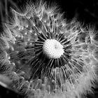 dandelion by Anne Seltmann