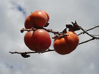 Japanese Persimmons by May Lattanzio