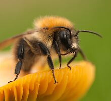 Bee on a Toadstool by Robert Kendall