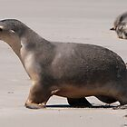 Sealion Cub by fotoWerner