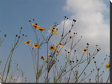 Wild Coreopsis by May Lattanzio