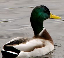 Charles River Duck by Alexandra Sollers