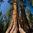 Sequoia  by Michael Treloar