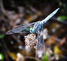 Blue Dragonfly by Nathan T