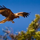 Whistling Kite by WantedImages
