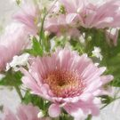 Pink Chrysanthemums 5 Elegance by Christopher Johnson