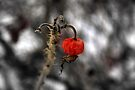 'cherry bomb'..Winters cruel harvest by Russ Styles