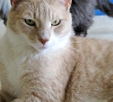 Grover a shelter cat by Twistedwhisker1