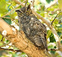 Great Horned Owl by Tracy Riddell