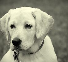 Yellow lab puppy by picturedunn